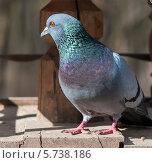Купить «Сизый голубь сидит в кормушке», эксклюзивное фото № 5738186, снято 24 марта 2014 г. (c) Игорь Низов / Фотобанк Лори