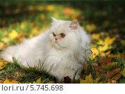 Красивая кошка, лежа на траве, смотрит в сторону. Стоковое фото, фотограф Светлана Пальцева / Фотобанк Лори