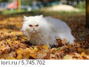Красивая кошка хмуро смотрит в сторону. Стоковое фото, фотограф Светлана Пальцева / Фотобанк Лори