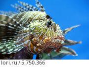 Купить «Рыба-крылатка», фото № 5750366, снято 14 марта 2014 г. (c) Михаил Коханчиков / Фотобанк Лори