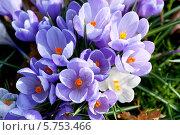 Купить «Фиолетовые и белые крокусы», фото № 5753466, снято 10 марта 2014 г. (c) Татьяна Кахилл / Фотобанк Лори