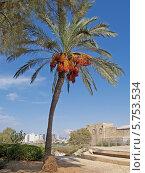 Купить «Финиковая пальма в Яффо, Израиль», фото № 5753534, снято 5 октября 2012 г. (c) Ирина Борсученко / Фотобанк Лори