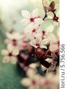 Купить «Цветущая вишня», фото № 5756566, снято 11 марта 2014 г. (c) Наталия Кленова / Фотобанк Лори
