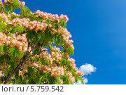 Купить «Цветущее дерево акации», фото № 5759542, снято 25 июня 2013 г. (c) Анастасия Золотницкая / Фотобанк Лори