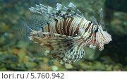 Купить «Крылатка в аквариуме», видеоролик № 5760942, снято 31 марта 2014 г. (c) Михаил Коханчиков / Фотобанк Лори