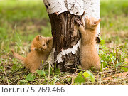 Рыжие котята играют во дворе. Стоковое фото, фотограф Ольга Стрейкмане / Фотобанк Лори
