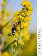 Милая пчела опыляет желтые соцветия. Стоковое фото, фотограф Юрий Селиванов / Фотобанк Лори
