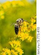 Насекомое есть нектар из желтых цветов. Стоковое фото, фотограф Юрий Селиванов / Фотобанк Лори