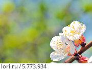 Купить «Ветвь цветущего дерева», фото № 5773934, снято 27 марта 2014 г. (c) Iordache Magdalena / Фотобанк Лори