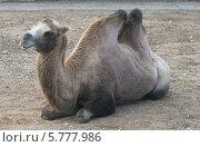 Верблюд. Стоковое фото, фотограф Екатерина / Фотобанк Лори