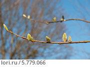 Купить «Веточки цветущей вербы ранней весной», эксклюзивное фото № 5779066, снято 5 апреля 2014 г. (c) Svet / Фотобанк Лори