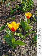 Купить «Миниатюрный ранний тюльпан на фоне почвы», эксклюзивное фото № 5779098, снято 5 апреля 2014 г. (c) Svet / Фотобанк Лори