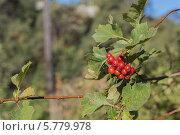 Купить «Плоды боярышника», фото № 5779978, снято 14 сентября 2013 г. (c) Александр Самолетов / Фотобанк Лори