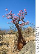 Бутылочное дерево на острове Сокотра (2014 год). Стоковое фото, фотограф Овчинникова Ирина / Фотобанк Лори