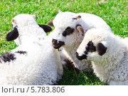 Купить «Красивые ягнята на зеленой траве», фото № 5783806, снято 7 апреля 2014 г. (c) Ольга Марк / Фотобанк Лори