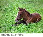 Купить «Жеребенок на зеленой траве», фото № 5784986, снято 12 мая 2013 г. (c) Дарья Петренко / Фотобанк Лори