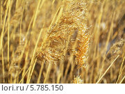 Камыш. Стоковое фото, фотограф Александр Бураков / Фотобанк Лори