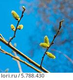 Купить «Веточки цветущей вербы ранней весной», эксклюзивное фото № 5788430, снято 5 апреля 2014 г. (c) Svet / Фотобанк Лори