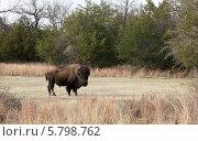 Купить «Американский бизон на поляне в заповеднике Wichita Mountains (Оклахома, США)», фото № 5798762, снято 23 марта 2014 г. (c) Ирина Кожемякина / Фотобанк Лори