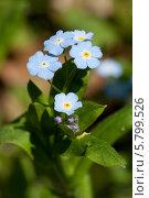 Купить «Цветы незабудки (Myosótis)», фото № 5799526, снято 2 мая 2013 г. (c) Игорь Дашко / Фотобанк Лори