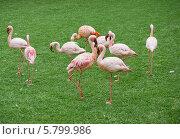 Купить «Розовые фламинго на лужайке», фото № 5799986, снято 8 марта 2014 г. (c) Светлана Попова / Фотобанк Лори