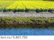 Купить «Поле с желтыми нарциссами», фото № 5801750, снято 28 марта 2014 г. (c) Юрий Брыкайло / Фотобанк Лори
