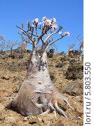 Бутылочное дерево на острове Сокотра в Йемене (2014 год). Стоковое фото, фотограф Овчинникова Ирина / Фотобанк Лори