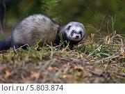 Купить «Маленькая ласка в траве», фото № 5803874, снято 23 декабря 2013 г. (c) Эдуард Кислинский / Фотобанк Лори