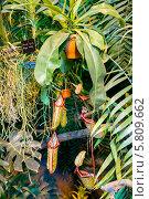 Купить «Плотоядное растение семейства Nepenthes в оранжерее ботанического сада в Москве», фото № 5809662, снято 25 марта 2014 г. (c) Володина Ольга / Фотобанк Лори