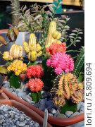 Купить «Цветущие кактусы в ботаническом саду в Москве», фото № 5809694, снято 25 марта 2014 г. (c) Володина Ольга / Фотобанк Лори