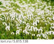 Белые пушистые одуванчики на зелёном лугу. Стоковое фото, фотограф Светлана Илькова / Фотобанк Лори