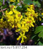 Купить «Цветы смородины золотистой», эксклюзивное фото № 5817254, снято 17 декабря 2018 г. (c) Blekcat / Фотобанк Лори