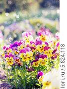 Купить «Яркие весенние анютины глазки в саду», фото № 5824118, снято 8 мая 2013 г. (c) Юлия Маливанчук / Фотобанк Лори