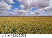 Пшеничное поле. Стоковое фото, фотограф Евгений Егоров / Фотобанк Лори