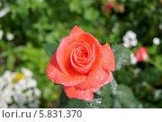 Роза после дождя. Стоковое фото, фотограф Максим Цапко / Фотобанк Лори