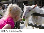 Купить «Маленькая девочка кормит коз на ферме», фото № 5832902, снято 1 июня 2013 г. (c) Игорь Соколов / Фотобанк Лори