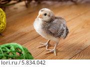 Цыпленок крупным планом. Стоковое фото, фотограф Olga Taranik / Фотобанк Лори