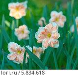 Купить «Сортовой красивый нарцисс», эксклюзивное фото № 5834618, снято 22 апреля 2014 г. (c) Svet / Фотобанк Лори