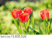 Купить «Яркие красные тюльпаны в саду», фото № 5835526, снято 11 апреля 2014 г. (c) Типляшина Евгения / Фотобанк Лори