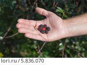 Ягоды черной и красной малины в руке. Стоковое фото, фотограф Александр Самолетов / Фотобанк Лори