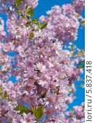 Купить «Розовые цветы сакуры ( Prunus serrulata)», эксклюзивное фото № 5837418, снято 23 апреля 2014 г. (c) Svet / Фотобанк Лори