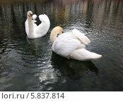 Купить «Пара лебедей», фото № 5837814, снято 16 апреля 2014 г. (c) Светлана Голубкова / Фотобанк Лори