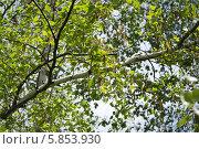 Берёзовые серёжки. Стоковое фото, фотограф Владимир Моргунов / Фотобанк Лори