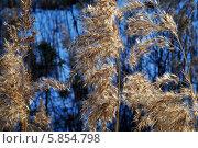 Тростник. Стоковое фото, фотограф Александр Тюнис / Фотобанк Лори