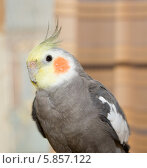 Корелла (Nymphicus hollandicus) — птица семейства какаду. Стоковое фото, фотограф Олег Хархан / Фотобанк Лори