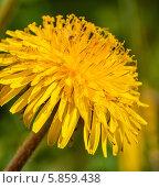 Купить «Цветущий жёлтый одуванчик крупным планом», эксклюзивное фото № 5859438, снято 30 апреля 2014 г. (c) Игорь Низов / Фотобанк Лори