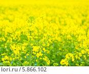 Купить «Красивое рапсовое поле в солнечный день», фото № 5866102, снято 27 апреля 2014 г. (c) Екатерина Овсянникова / Фотобанк Лори