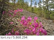 Купить «Цветущий багульник широколистный в лесу», фото № 5868294, снято 24 июня 2005 г. (c) Георгий Хрущев / Фотобанк Лори