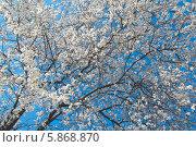 Купить «Белая японская сакура ( Prunus serrulata ) цветет на фоне голубого неба весной», эксклюзивное фото № 5868870, снято 26 апреля 2014 г. (c) Svet / Фотобанк Лори