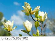 Купить «Бежевые цветы магнолии на фоне голубого неба», эксклюзивное фото № 5868902, снято 27 апреля 2014 г. (c) Svet / Фотобанк Лори